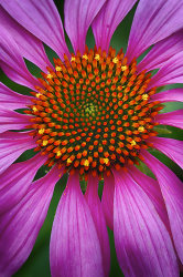 Echinacea 2.jpg